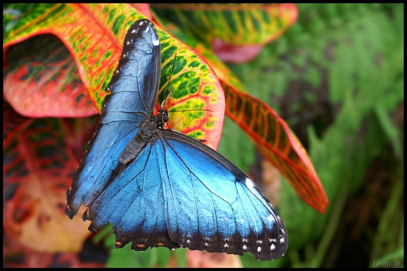 free-pictures-blue-butterfly-nature-Lionoche.jpg